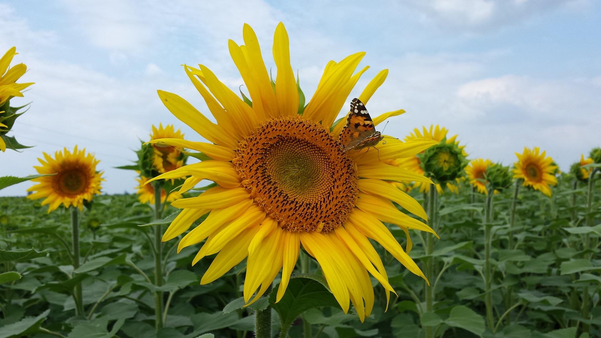 Floarea-soarelui, post image
