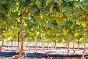 szőlő tápanyagellátása
