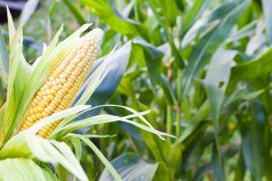 kukorica lombtrágyázása agroleaf power használatával