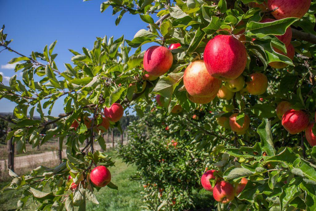 Măr, főkép
