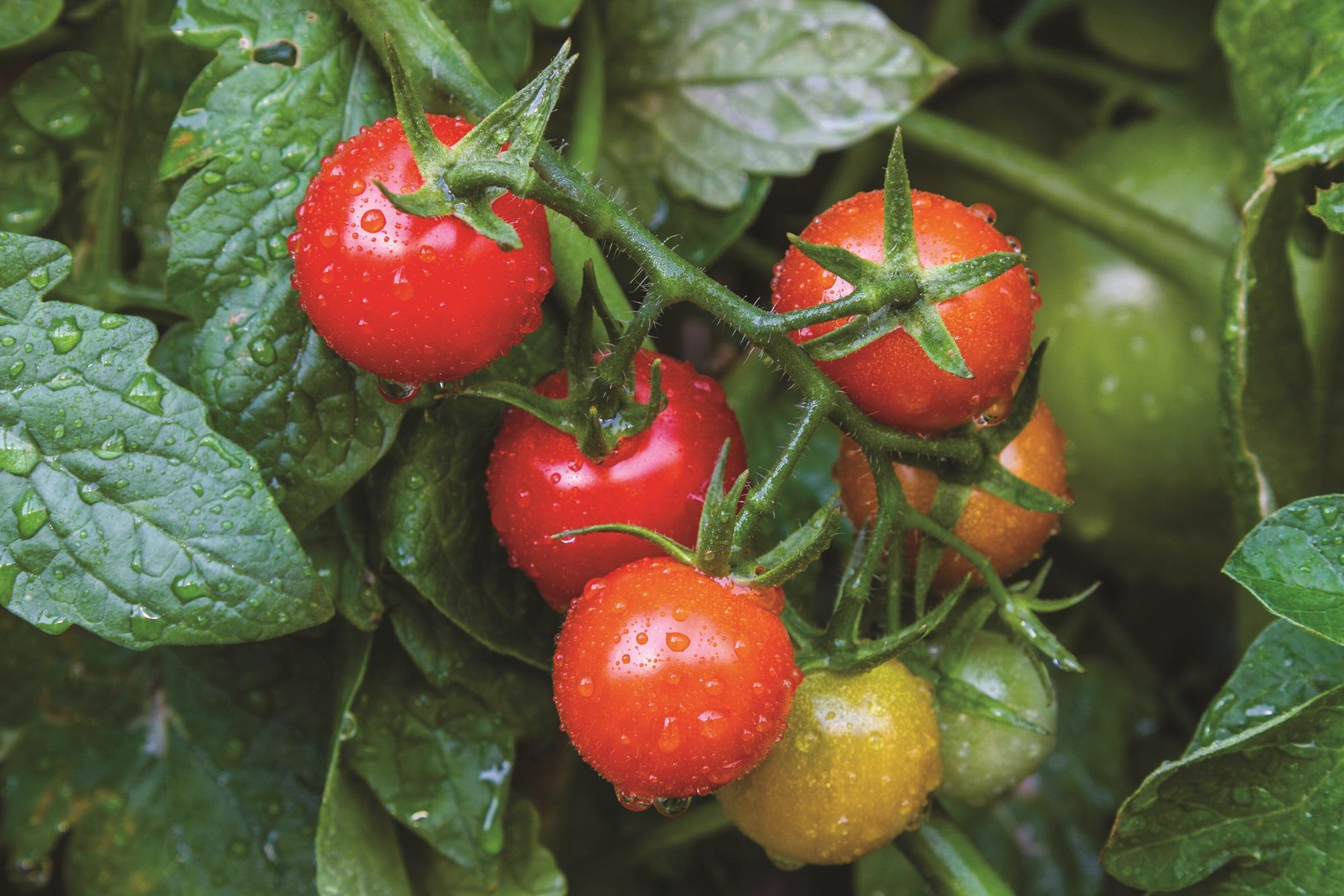 Tomate, post image