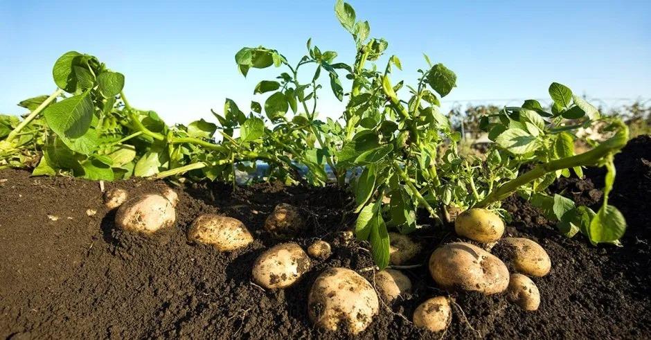 Cartof, főkép