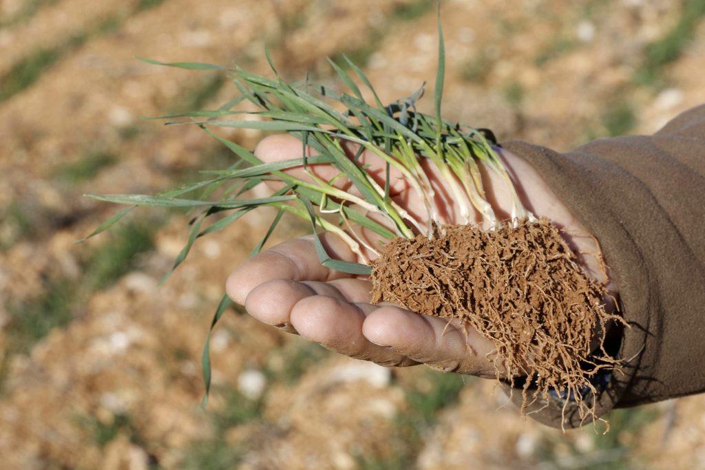 Agromaster Start Mini la cultura de grâu, post image